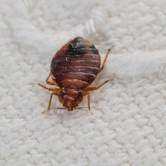 Bed Bugs, Pest Control in Swiss Cottage, NW3. Call Now! 020 8166 9746