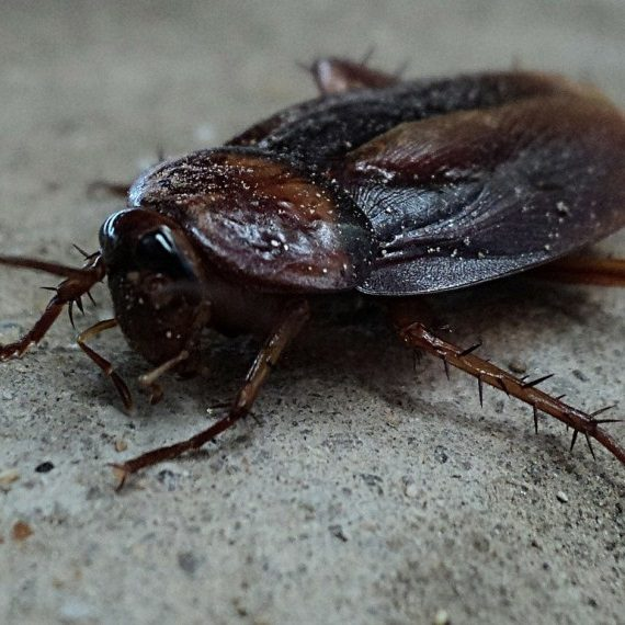 Cockroaches, Pest Control in Swiss Cottage, NW3. Call Now! 020 8166 9746