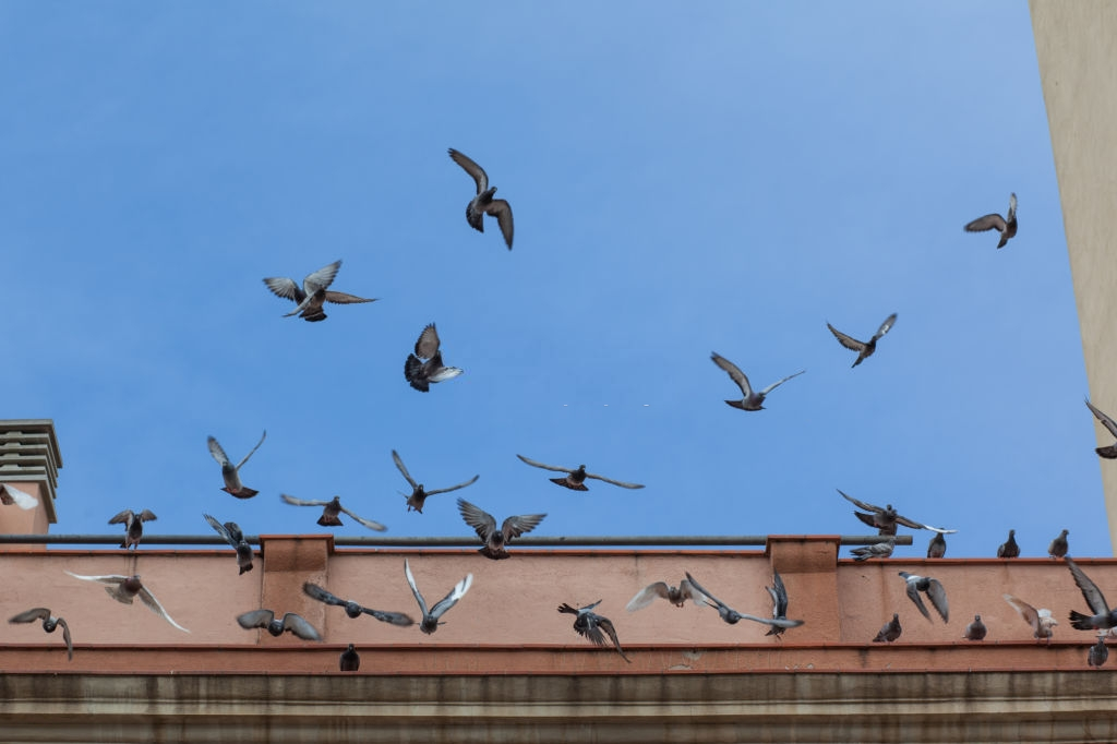 Pigeon Control, Pest Control in Swiss Cottage, NW3. Call Now 020 8166 9746