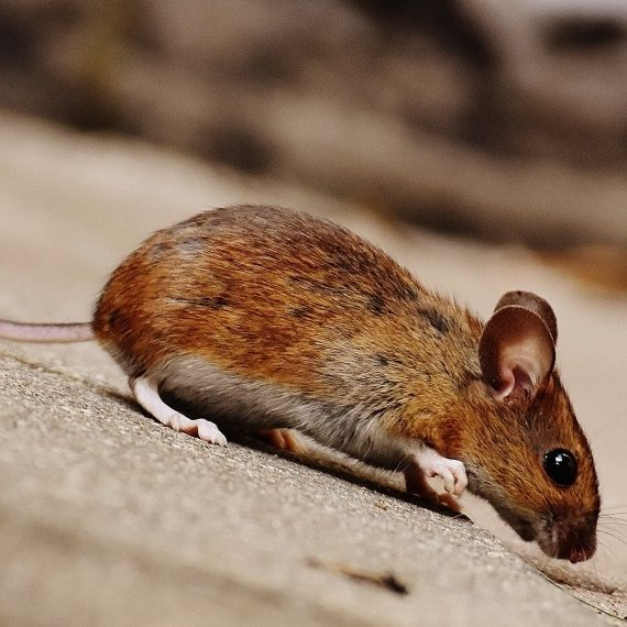 Mice, Pest Control in Swiss Cottage, NW3. Call Now! 020 8166 9746