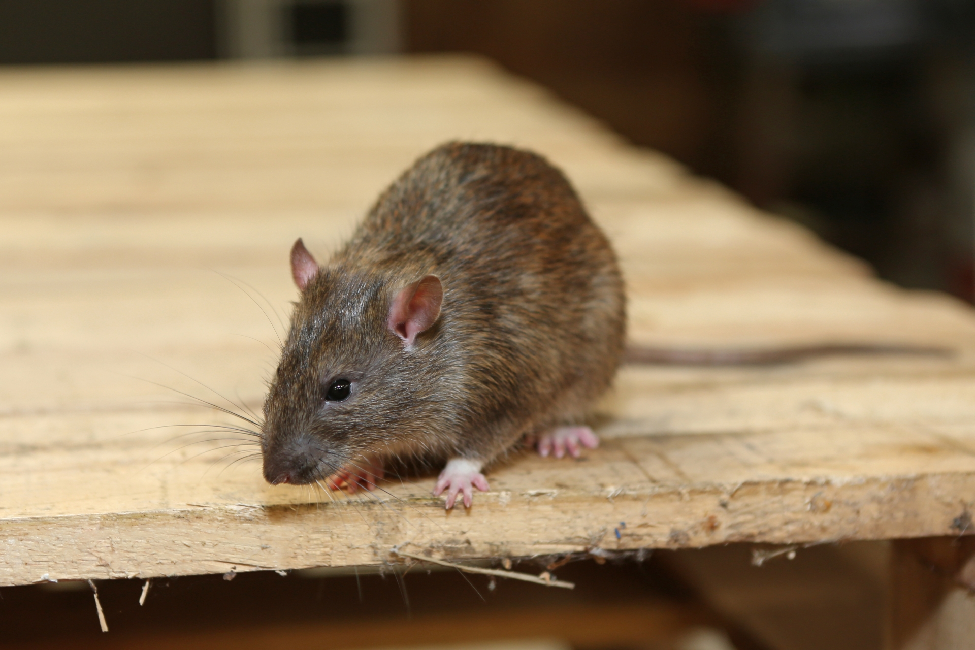 Rat Control, Pest Control in Swiss Cottage, NW3. Call Now 020 8166 9746