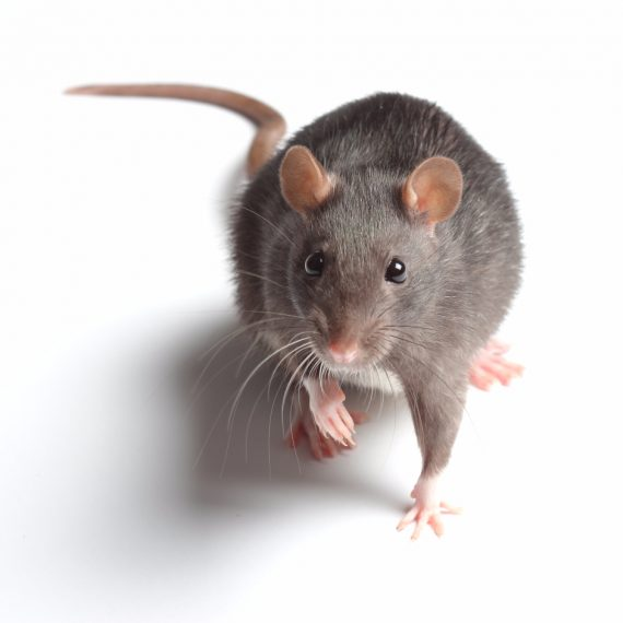 Rats, Pest Control in Swiss Cottage, NW3. Call Now! 020 8166 9746