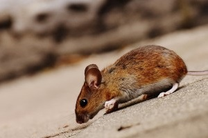 Mouse extermination, Pest Control in Swiss Cottage, NW3. Call Now 020 8166 9746