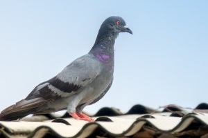 Pigeon Pest, Pest Control in Swiss Cottage, NW3. Call Now 020 8166 9746